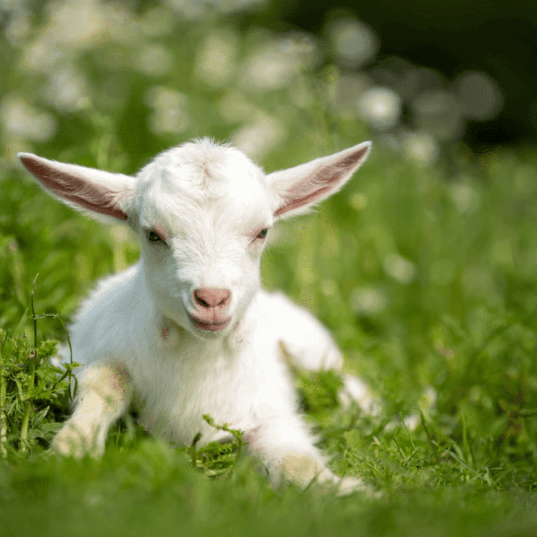Ed Rick Author At Mariaville Goat Farm