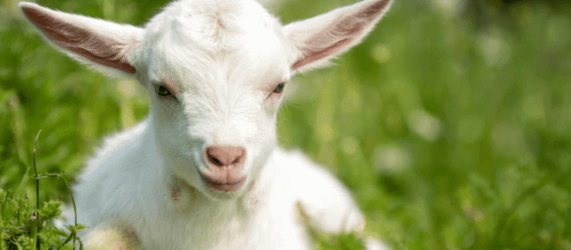 Baby goat in summer field